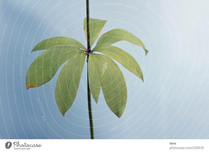 schnitt - Blume Natur grün blau Pflanze Sommer Blatt Umwelt Wachstum natürlich Stengel Wildpflanze Vor hellem Hintergrund Türkenbundlilie