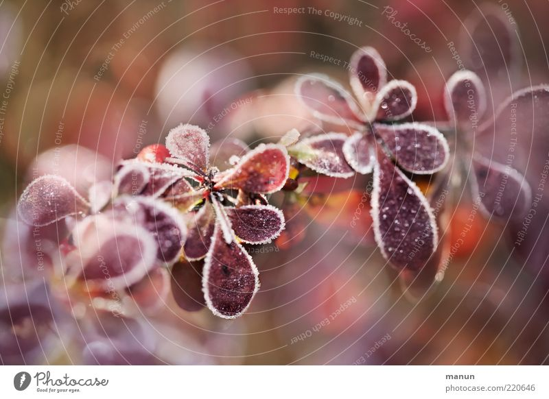 kalt Natur Herbst Eis Frost Pflanze Sträucher Blatt Herbstlaub herbstlich Herbstfärbung Raureif frieren frisch natürlich Originalität schön Wandel & Veränderung