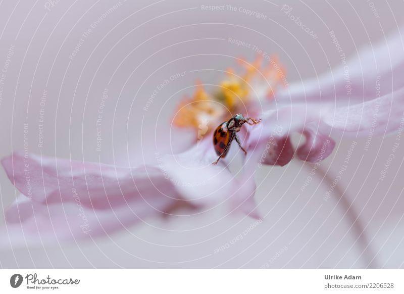 Marienkäfer krabbelt auf Anemone Glück Valentinstag Geburtstag Natur Pflanze Tier Blume Anemonen Wildtier Käfer Insekt 1 krabbeln laufen klein natürlich