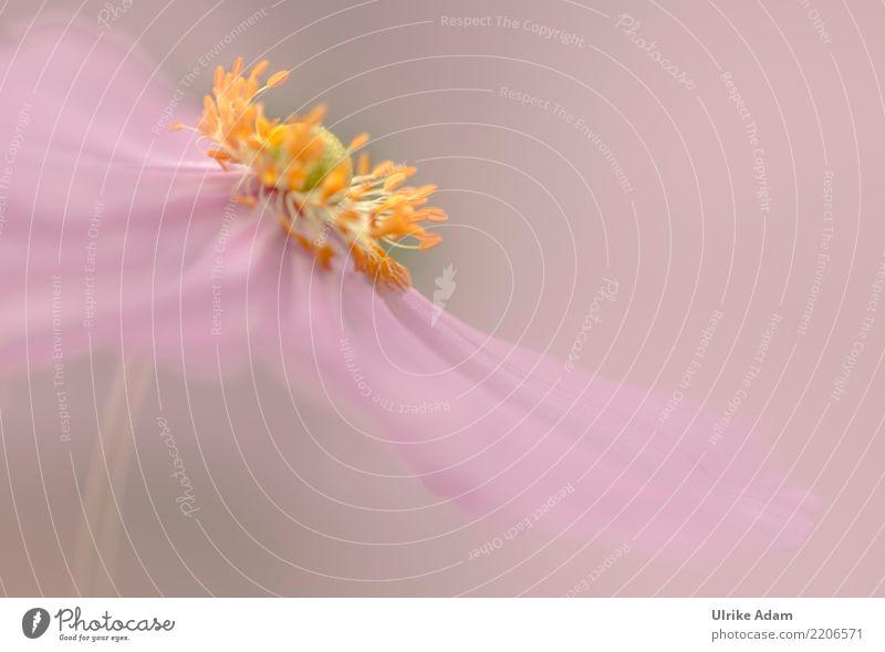 Ein Hauch von Rosa Natur Pflanze Sommer Farbe Blume Erholung ruhig Blüte Herbst Kunst rosa Zufriedenheit Dekoration & Verzierung elegant Blühend Romantik