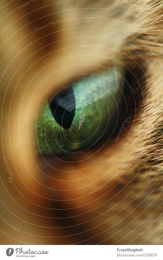All eyes on... grün ruhig schwarz Auge Tier Katze braun Perspektive nah beobachten Neugier Konzentration Makroaufnahme Wachsamkeit böse Erwartung