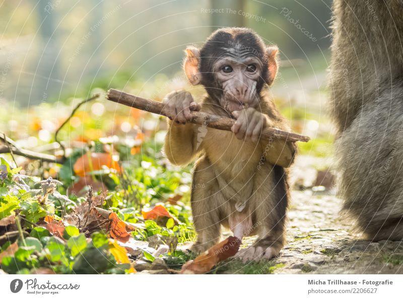 Affenbaby mit Stöckchen Natur Pflanze grün Sonne Tier Blatt Tierjunges gelb Umwelt Auge Spielen braun orange leuchten Kindheit Schönes Wetter