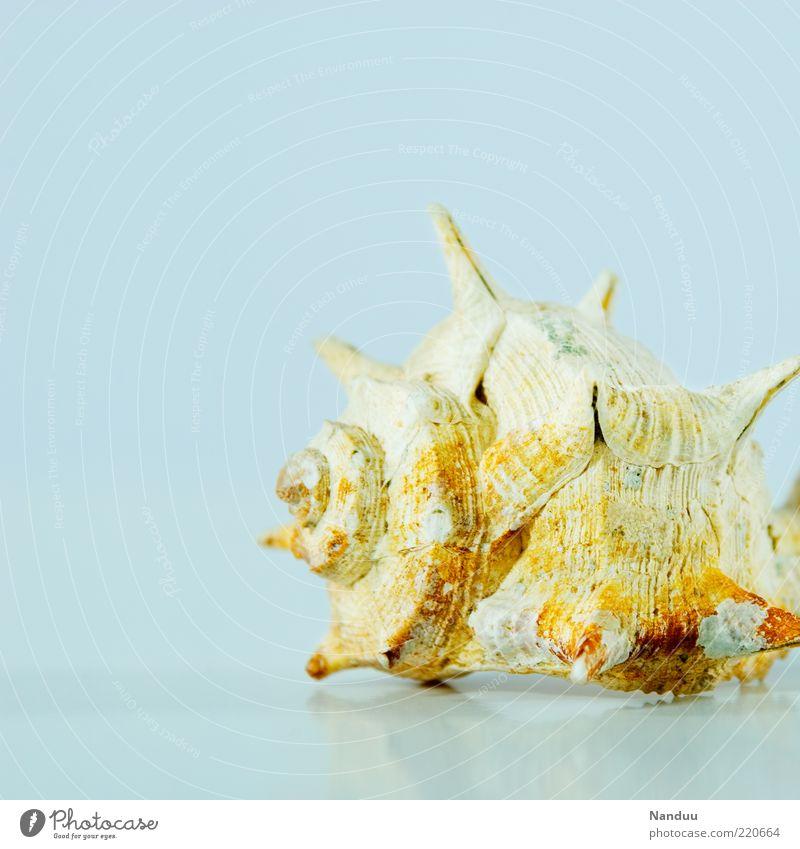 Meer Schneck² schön Ferien & Urlaub & Reisen Tier bizarr Spirale stachelig Stachel Souvenir maritim Schneckenhaus Gehäuse Wasserschnecken Objektfotografie Vor hellem Hintergrund