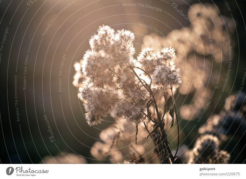 herbstlich(t) Natur weiß Blume Pflanze Blatt Lampe Blüte braun hell Sträucher weich Wandel & Veränderung einzigartig Idylle leuchten trocken