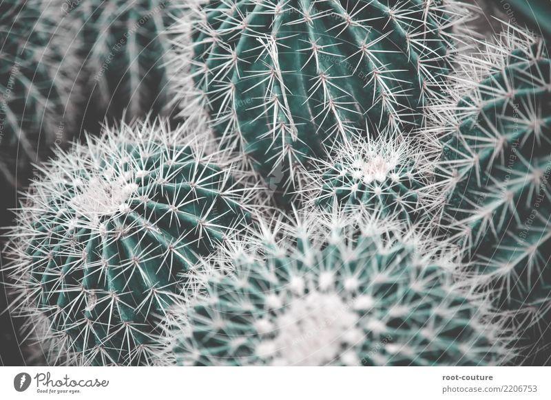 A bunch of grüner Kakteen Garten Natur Pflanze Baum Kaktus Grünpflanze exotisch Dekoration & Verzierung Spitze bedrohlich Hintergrundbild Kakteenblüte