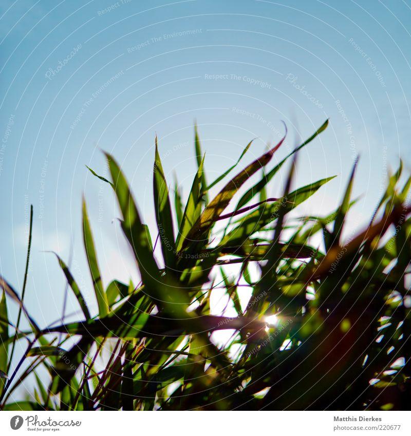 Sommergras Umwelt Natur ästhetisch Gras Gegenlicht Beleuchtung Froschperspektive Himmel Wiese frisch schön Schönes Wetter Farbfoto Außenaufnahme Menschenleer