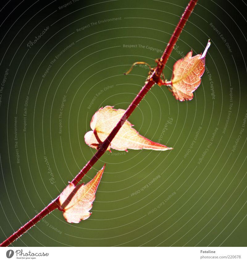 Herbstleuchten Natur Pflanze rot Blatt hell Umwelt nah natürlich Stengel diagonal Ranke Blattadern Textfreiraum links rotglühend