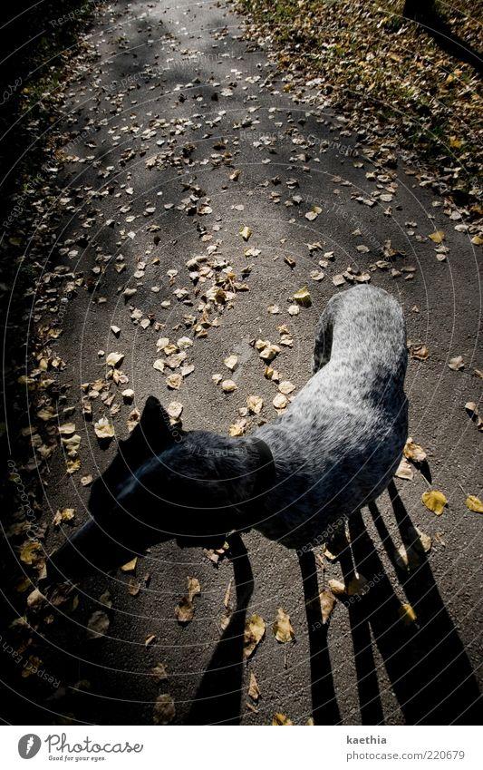 blättertanz Tier Haustier Hund 1 stehen schwarz Herbst Herbstlaub Blatt Wege & Pfade Spaziergang Halsband gold Oktober gelb gelbgold gehen Beine Schattenspiel