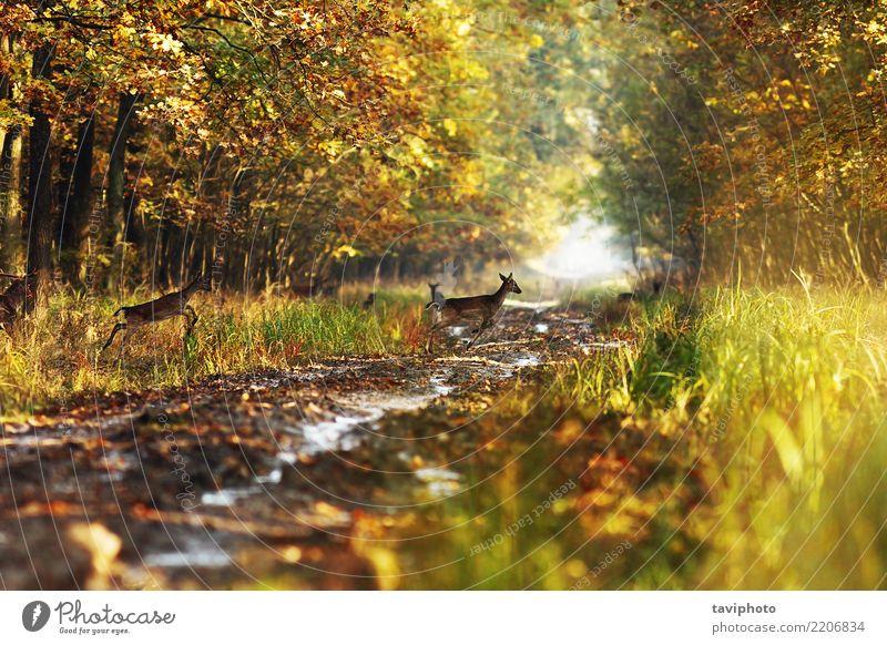 Damwild in den Herbstwäldern Frau Natur Farbe schön Landschaft Tier Wald Erwachsene Straße gelb Wege & Pfade natürlich Spielen braun