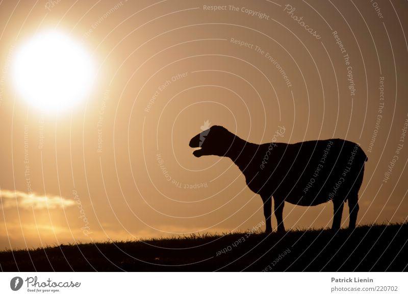 Schwarzes Schaf Natur schön Himmel Sonne Wolken Tier Wärme Luft Stimmung hell Angst Wetter Umwelt beobachten Hügel entdecken