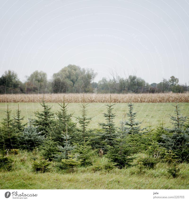 baumschule Umwelt Natur Landschaft Himmel Pflanze Baum Gras Grünpflanze Feld blau grün Tanne Farbfoto Außenaufnahme Menschenleer Textfreiraum oben Tag