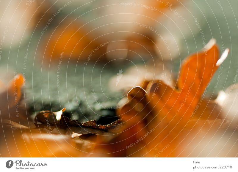 haufenweise Natur Pflanze Blatt Herbst Erde Verfall Makroaufnahme Herbstlaub Eiche welk herbstlich Herbstfärbung Zyklus Eichenblatt