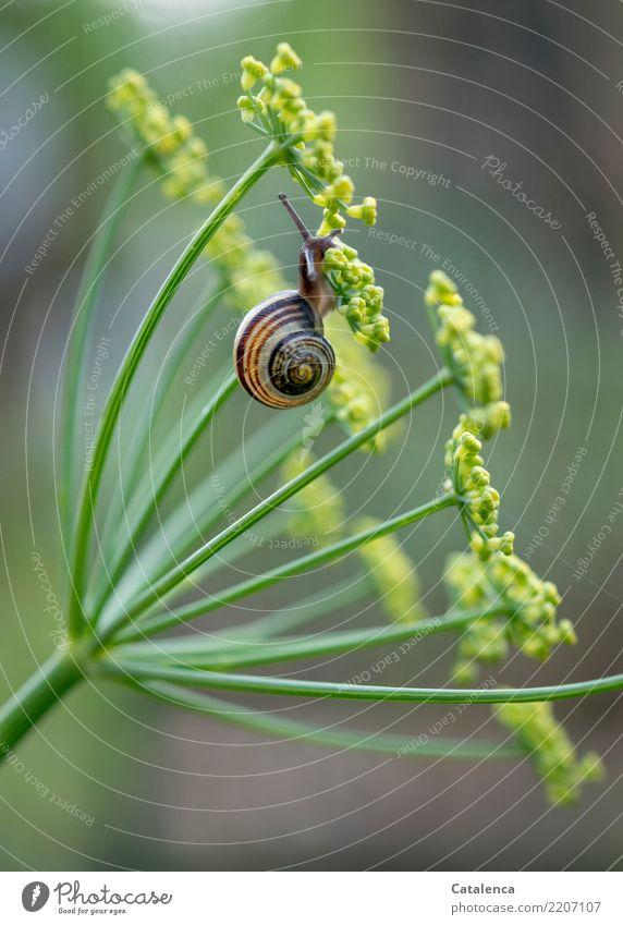 Ein Schneckchen an Fenchel Natur Pflanze grün Tier gelb Umwelt Herbst Blüte klein Garten braun hängen Fressen Schnecke Schaden Toleranz