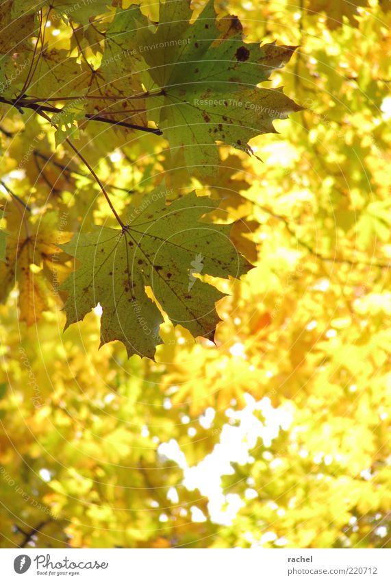 Laubleuchten Umwelt Natur Herbst Schönes Wetter Baum Blatt Wald Vergänglichkeit Wandel & Veränderung Laubbaum Herbstlaub Ahornblatt herbstlich hell