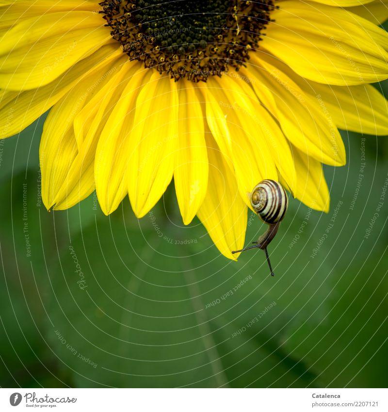 Braun auf Gelb auf Grün Natur Pflanze Sommer Blume Blatt Blüte Sonnenblume Garten Schnecke 1 Tier Blühend hängen verblüht dehydrieren wandern ästhetisch braun