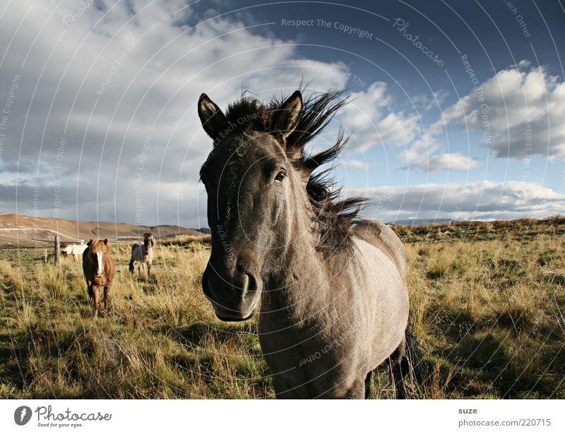 Weil der Wind uns tragen wird ... Natur Landschaft Tier Himmel Wolken Wiese Nutztier Wildtier Pferd stehen warten ästhetisch natürlich schön wild Stimmung Mähne