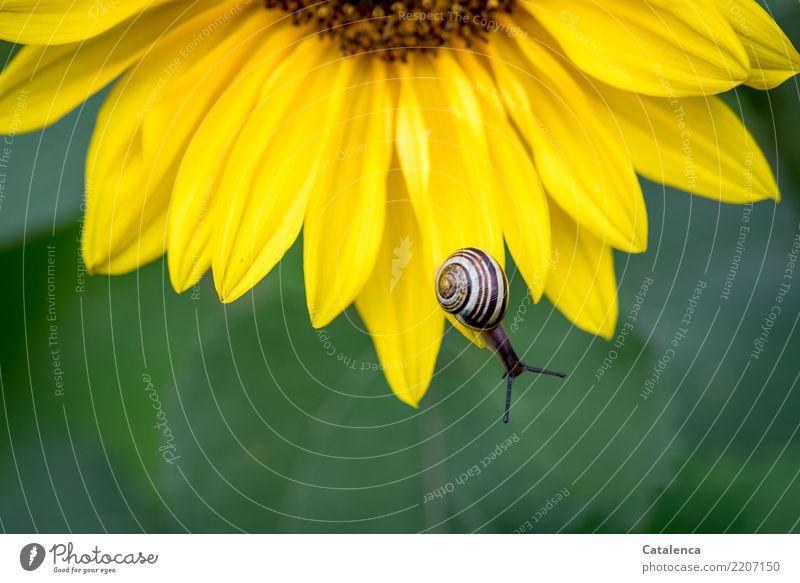 Am Abgrund Natur Pflanze Tier Sommer Blatt Blüte Sonnenblume Garten Schnecke Schnirkelschnecke 1 Blühend schön schleimig braun gelb grün Leben Umwelt