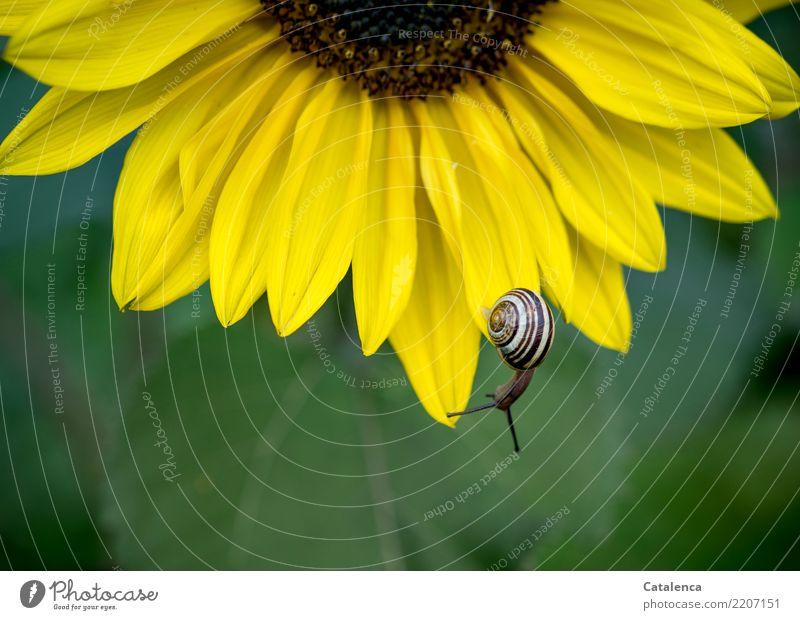 Kopfunter Natur Pflanze Tier Sommer Blume Blatt Blüte Sonnenblume Garten Schnecke Schnirkelschnecke 1 Bewegung hängen ästhetisch schön braun gelb grün
