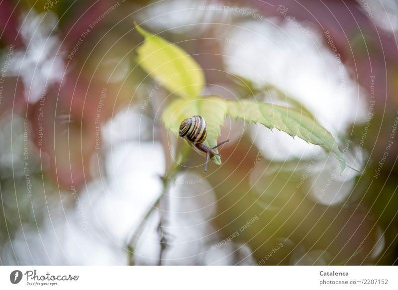 Hoch hinaus Natur Pflanze Tier Himmel Herbst schlechtes Wetter Blatt Kletterpflanzen Wilder Wein Garten Schnecke 1 beobachten hängen dehydrieren authentisch