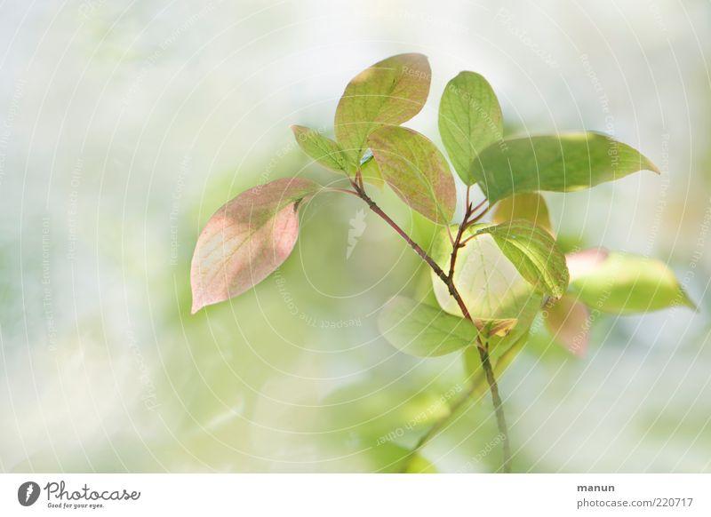 zartrosahellgrün Natur schön Sommer Blatt Herbst ästhetisch Sträucher außergewöhnlich sanft Zweig Blattadern Blattgrün Wildpflanze Herbstfärbung