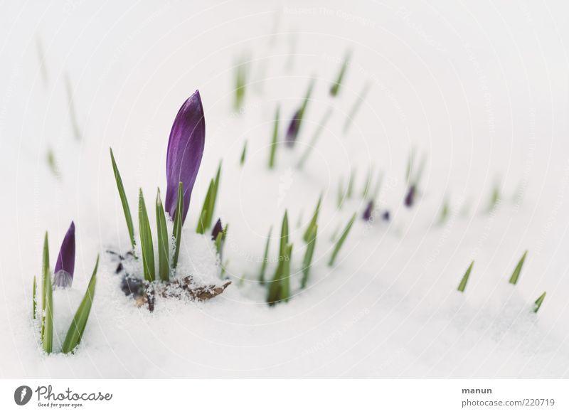 Frühaufsteher winterfest Natur Frühling Winter Schnee Blume Blatt Blüte Krokusse Trieb sprießen Frühblüher Frühlingsblume Frühlingskrokus Blütenknospen Blühend