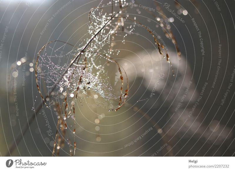 Perlen im Netz Umwelt Natur Pflanze Wassertropfen Herbst Schönes Wetter Gras Wildpflanze Halm Wald Spinnennetz glänzend hängen leuchten authentisch