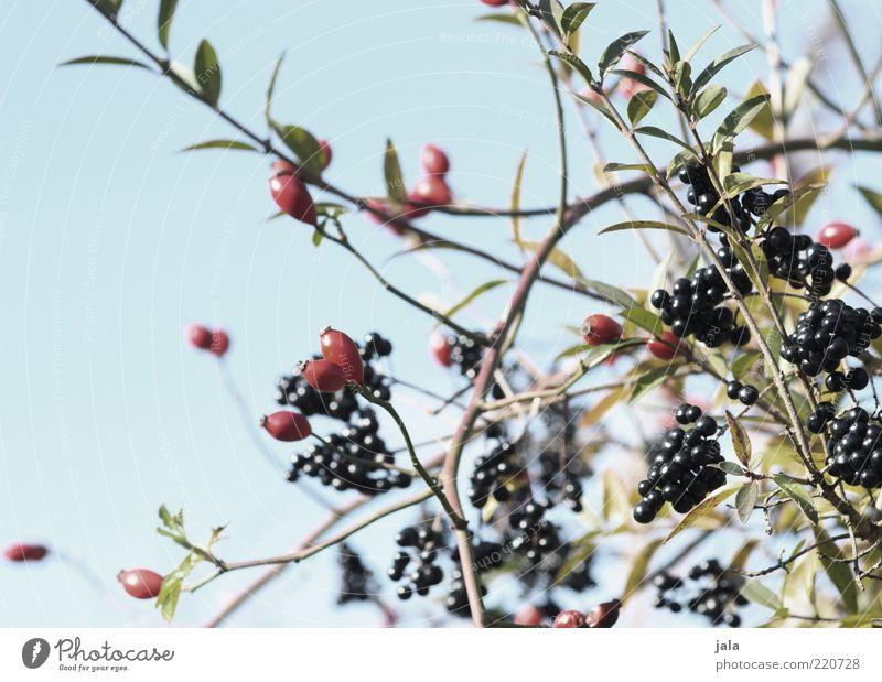 beerenmischung Natur Himmel blau Pflanze rot Blatt schwarz grau Umwelt Sträucher Zweig Beeren Rose Blume Frucht Vogelbeeren