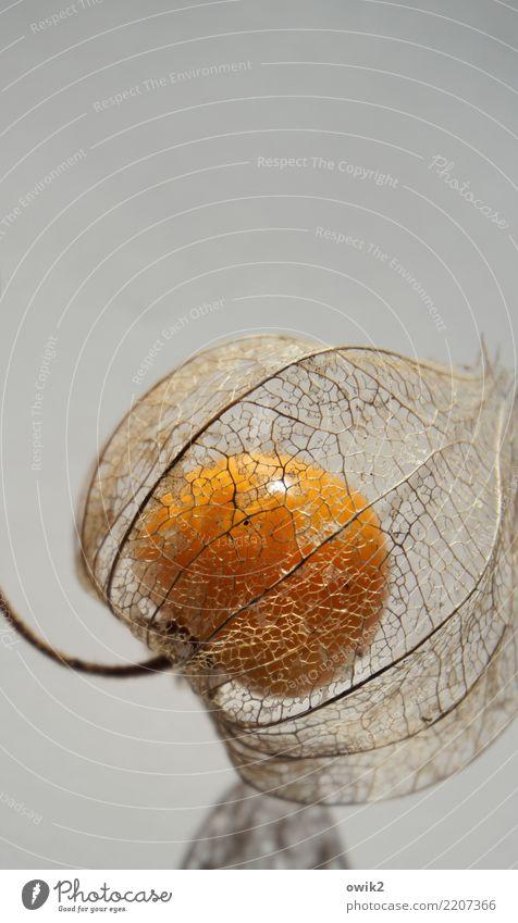 Früchtchen Pflanze Gesundheit natürlich klein außergewöhnlich orange glänzend authentisch genießen rund Schutz lecker nah dünn Stengel exotisch