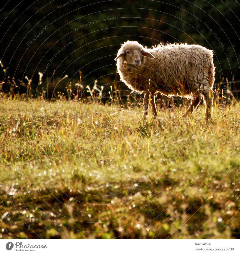 schafsinnig Natur grün ruhig Tier Wiese Gras Wärme Zufriedenheit stehen Tiergesicht natürlich Fell Gelassenheit Weide Schaf Schönes Wetter