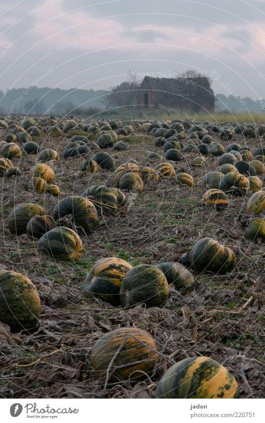 kürbis für alle! Lebensmittel Gemüse Bioprodukte Garten Erde Pflanze Feld Haus Hütte Ruine liegen rund gelb grün Endzeitstimmung Unendlichkeit Kürbis Kürbisfeld