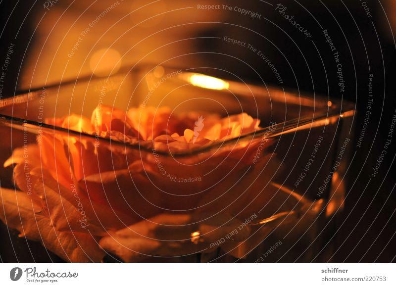 Rose im Wasserbett Blume Blüte Duft schön Kitsch rosa Glas Glasschale Dekoration & Verzierung Tischdekoration malerisch Nahaufnahme Abend Nacht Kunstlicht