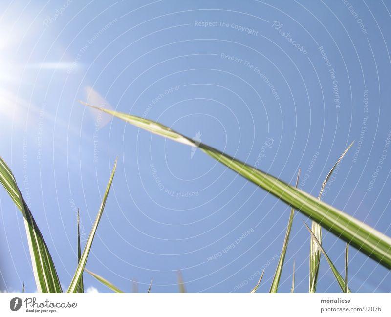Der Sonne entgegen Natur Himmel grün blau Sommer Halm Bambusrohr