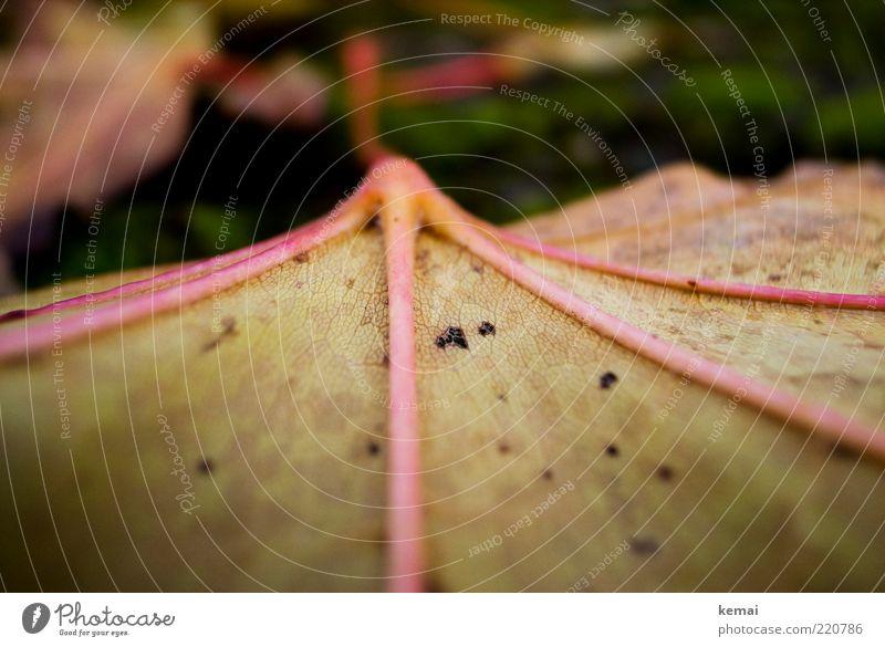 Blattrückgrat Natur Pflanze Herbst Umwelt liegen Anschnitt Bildausschnitt Blattadern Herbstlaub Grünpflanze welk herbstlich Fluchtpunkt Wildpflanze Zyklus
