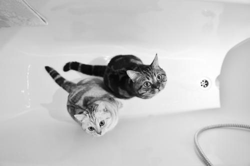 Badetag Katzen Tier Haustier 2 Zufriedenheit Sicherheit Hauskatze Badewanne Geschwister Schwarzweißfoto Berlin cat pet Innenaufnahme Menschenleer