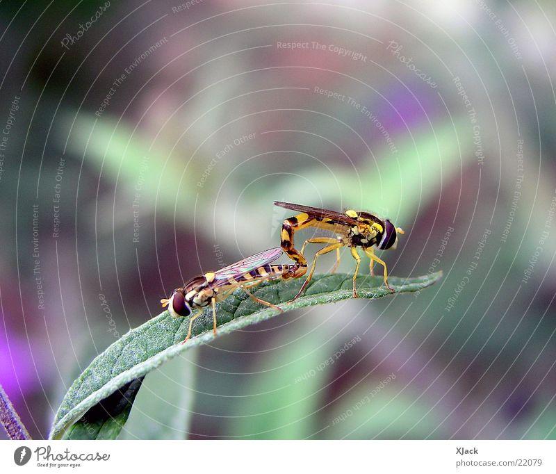 Schwebefliegen Natur Fliege Verkehr Biene
