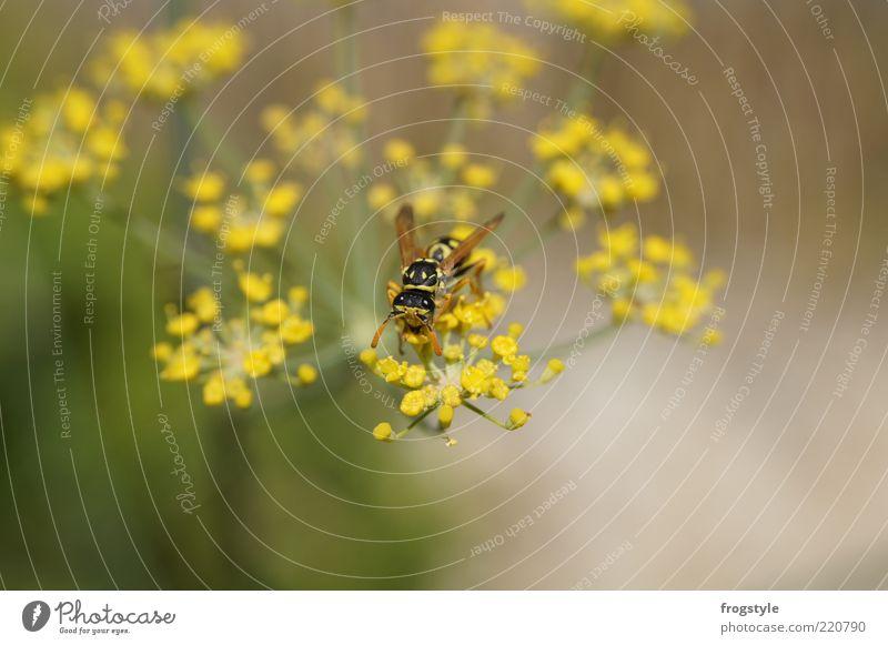 Wespe Natur Tier Pflanze Blume Blüte Wildpflanze Flügel Wespen 1 Blühend braun gelb grün Nektar Farbfoto Außenaufnahme Menschenleer Tag einzeln bestäuben