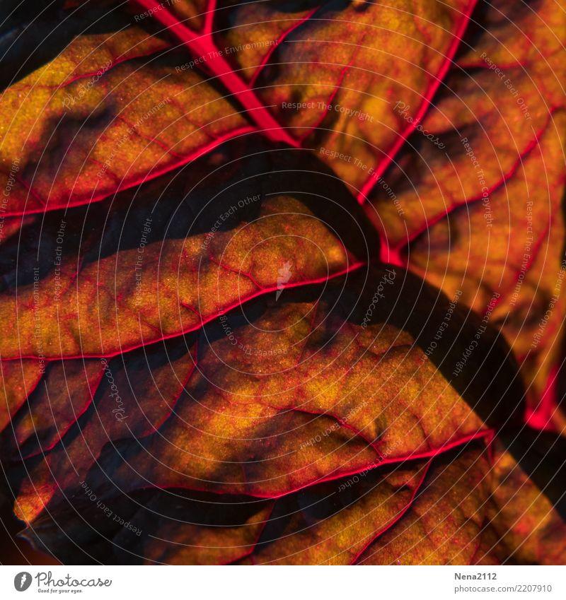 red light Umwelt Natur Pflanze Sommer Herbst Schönes Wetter Blatt Nutzpflanze gold orange rot Blattfaser Mangold Foodfotografie Gemüse Gemüsegarten Gesundheit