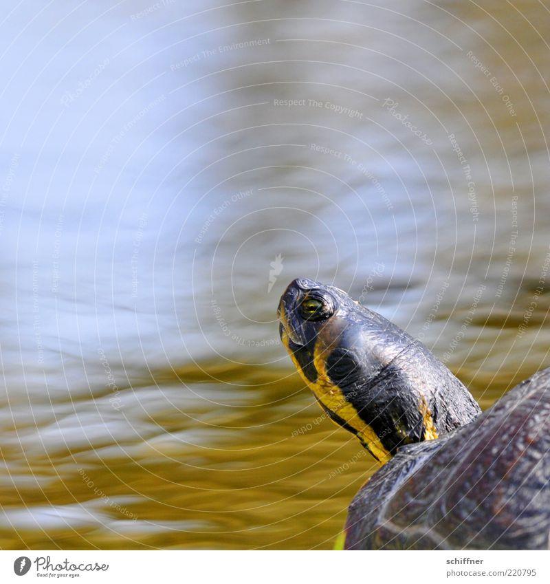Nach Hause telefonieren? Wasser Auge Tier See lustig Perspektive Tiergesicht Gelassenheit Neugier niedlich Hals Teich frech Hochmut gestreift Schildkröte