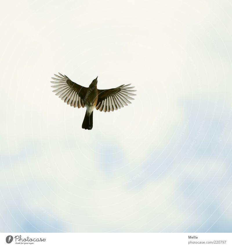 Das Prinzip Hoffnung Umwelt Natur Tier Luft Himmel Vogel Flügel Eichelhäher 1 fliegen frei natürlich oben Stimmung Freiheit Optimismus Perspektive ausbreiten