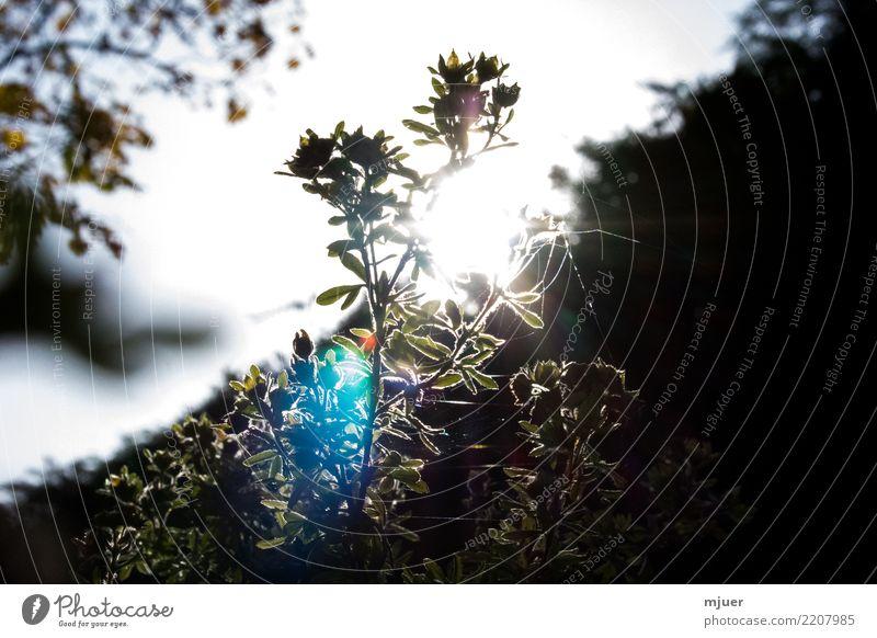 Gegenlicht im Herbst Garten Erntedankfest Natur Pflanze Himmel Wolkenloser Himmel Sonne Sonnenaufgang Sonnenuntergang Sonnenlicht Frühling Sommer Winter