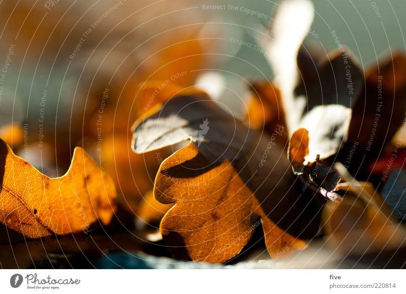 herbstlaub Umwelt Natur Herbst Schönes Wetter Blatt Stimmung Eichenblatt Herbstlaub herbstlich Farbfoto Außenaufnahme Detailaufnahme Makroaufnahme Morgen Licht