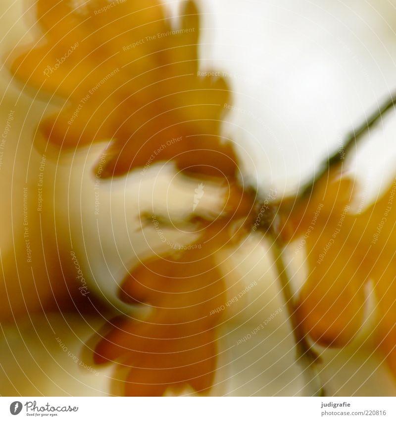 Herbst Natur Pflanze Blatt Umwelt Herbst natürlich Wachstum trocken Herbstlaub herbstlich Herbstfärbung Eiche Laubbaum dehydrieren Eichenblatt