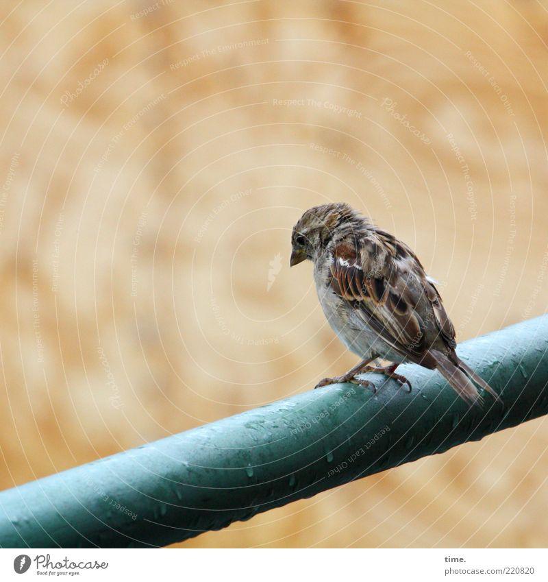 Das Prinzip Blues Einsamkeit Tier Traurigkeit Regen braun Vogel Wetter nass Wassertropfen sitzen Feder beobachten nachdenklich feucht Geländer Schnabel