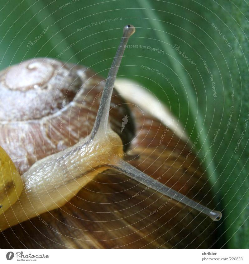 Boah, bist DU dick, mann! Blatt Tier glänzend klein groß Sicherheit Schutz Vertrauen berühren entdecken Schnecke Spirale Fühler krabbeln Blattadern schleimig