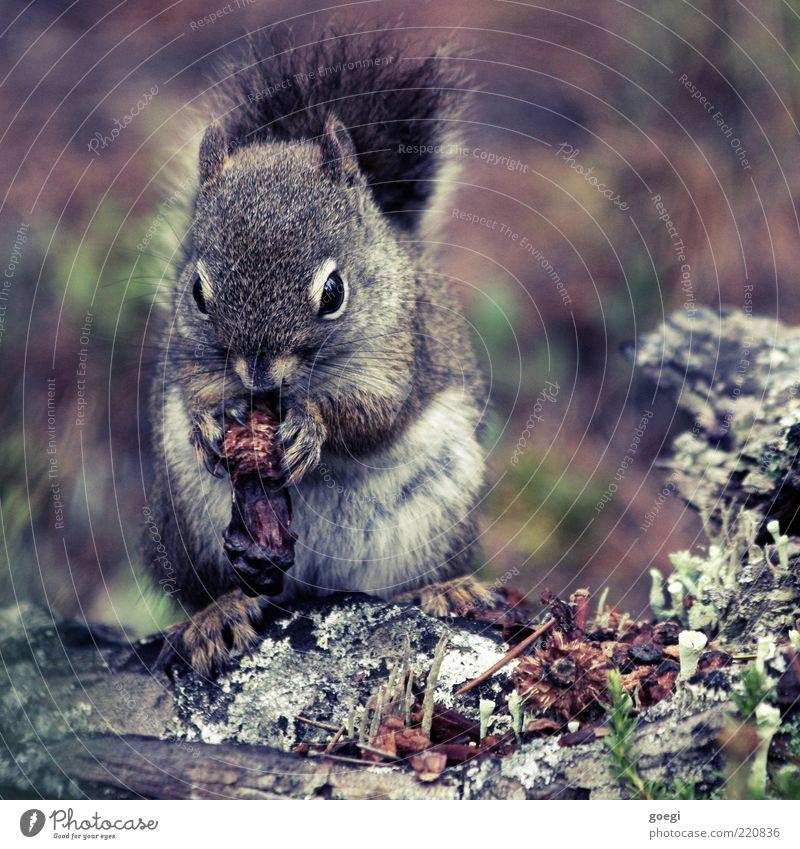 Wintervorsorge Natur Tier Pflanze Wildtier Eichhörnchen Nagetiere 1 Fressen wild weich Zapfen Fell Holz Baumstamm Farbfoto Außenaufnahme Menschenleer Tag