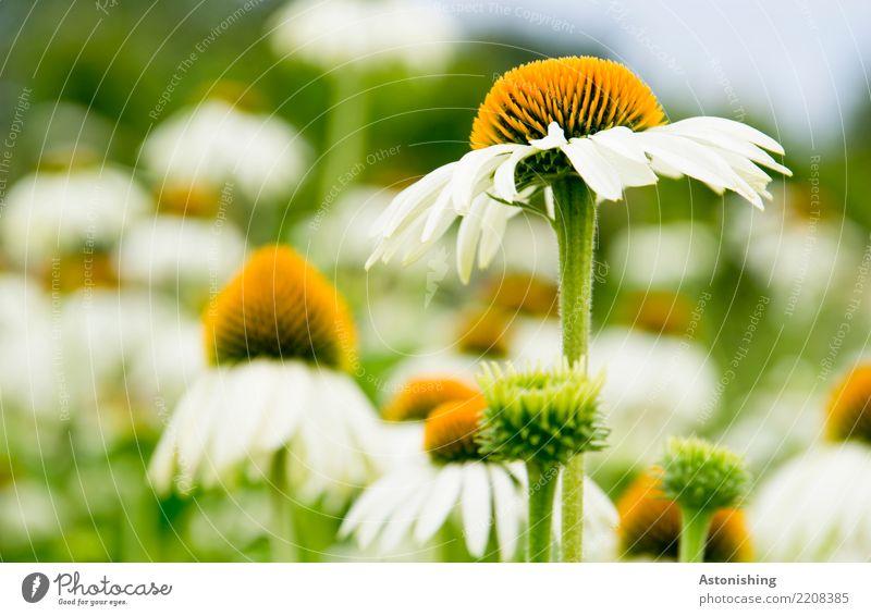 Flowers Umwelt Natur Landschaft Pflanze Luft Himmel Sommer Wetter Schönes Wetter Gras Blatt Blüte Wiese schön blau gelb grün weiß Stengel Magarite Blumenbeet