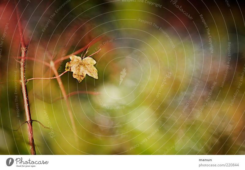 was übrig bleibt Natur Sträucher Blatt Ahornblatt herbstlich Herbstlaub Herbstfärbung authentisch natürlich Originalität schön Ende Vergänglichkeit Farbfoto