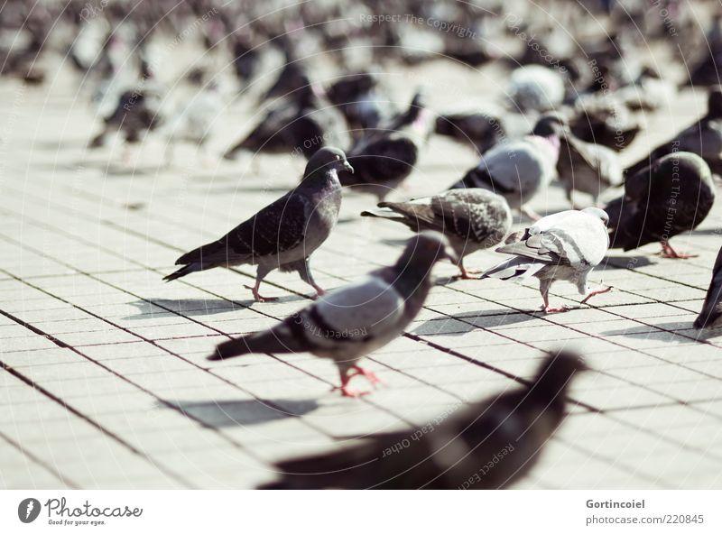 Tauben Platz Tier Wildtier Vogel Flügel Tiergruppe Schwarm grau Taksim Viertel Istanbul Türkei Farbfoto Gedeckte Farben Außenaufnahme Licht Schatten Kontrast
