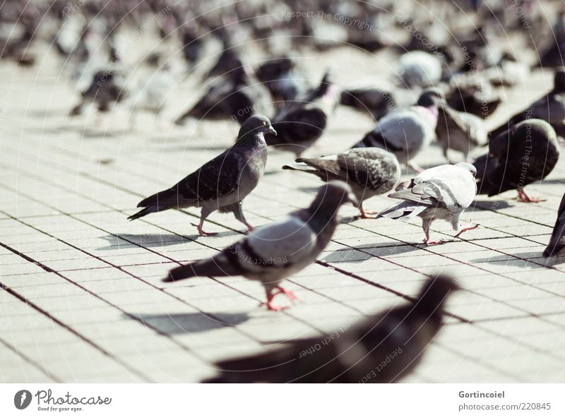 Tauben Tier grau Vogel Platz Tiergruppe Flügel Wildtier viele Türkei Pflastersteine Istanbul Schwarm Gurren Taksim Viertel