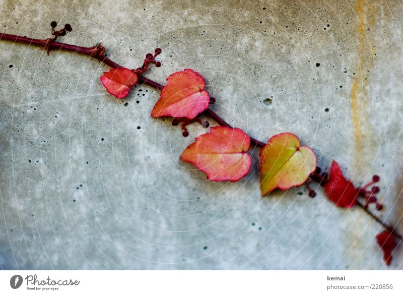 Wilde Kerle (aka Efeu-Kinder) Natur rot Pflanze Blatt gelb Wand Herbst grau Umwelt Mauer klein Fassade Beton Wachstum Ranke